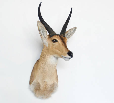 Reedbuck - Common