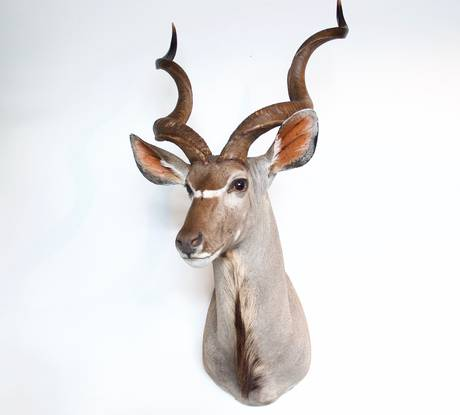 Greater Kudu (2)
